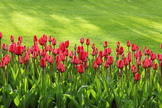 tulipany-trawa-kratka-trawnikowa